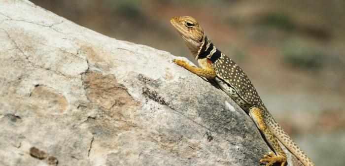 Collarded Lizard