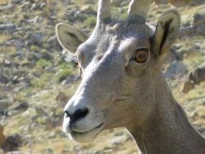 bighorn sheep up close