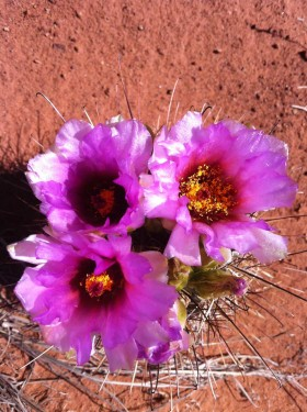 Wildflowers Blooming cactus