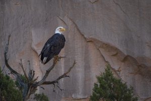 Bald Eagle in Westwater Canyon