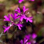 ID wildflowers