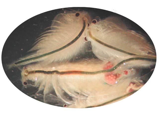 Artemia_salina