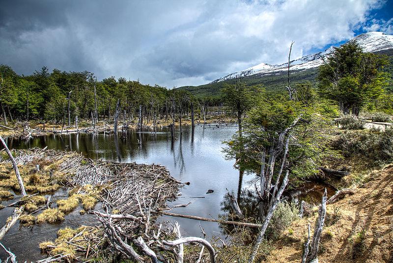 Beaver_Dam_-_Tierra_del_Fuego_National_Park,_Argentina