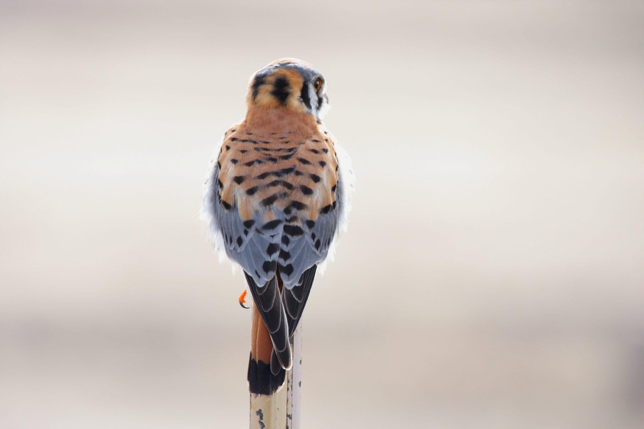 American_Kestrel_(Falco_sparverius)_(4411675713)