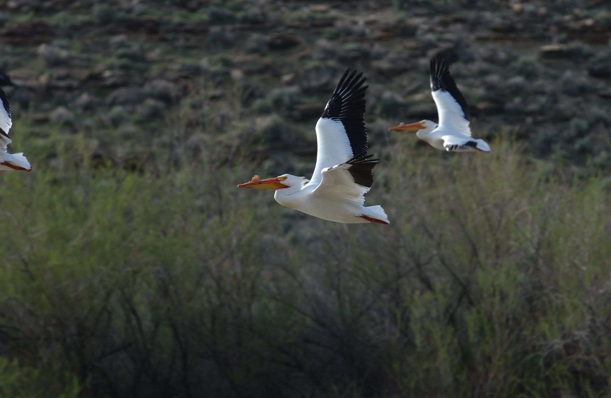 Pelican In Desolation Canyon