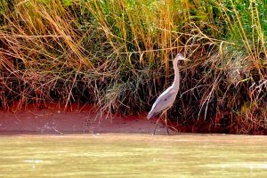 Bird Wildlife Great Blue Heron