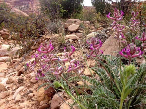 Milkvetch Astragalus Utahensis