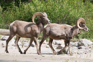 Utah Wildlife Bighorn Sheep