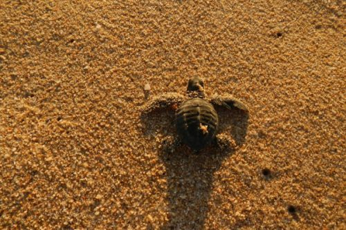 Sea Turtle Baja Mexico