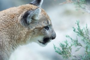 Cougar Wildlife