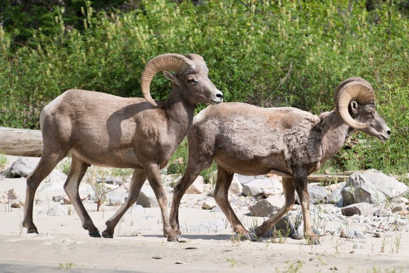 Big Horn Sheep Roam