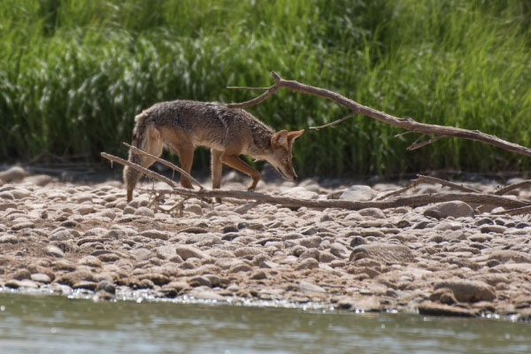 Wild coyote on the colorado river