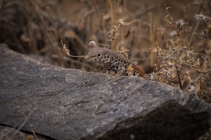 Lizard Colorado Plateau