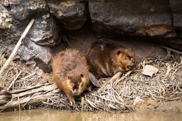 Beavers Wildlife