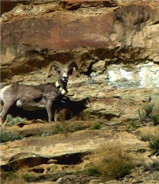 Bighorn Ram in Desolation Canyon - A Little Natural History: Bighorn Sheep