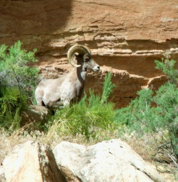 Bighorn Ram at Pool Creek