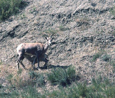 Bighorn Ewes - A Little Natural History: Bighorn Sheep