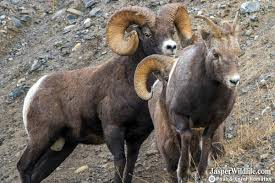 Bighorn Rams and Ewes