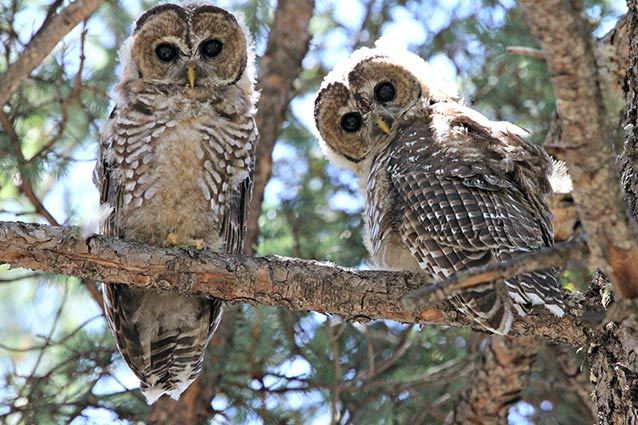 Mexican Spotted Owl National Park Service